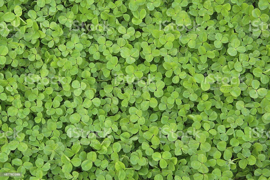 green shamrock in nature stock photo