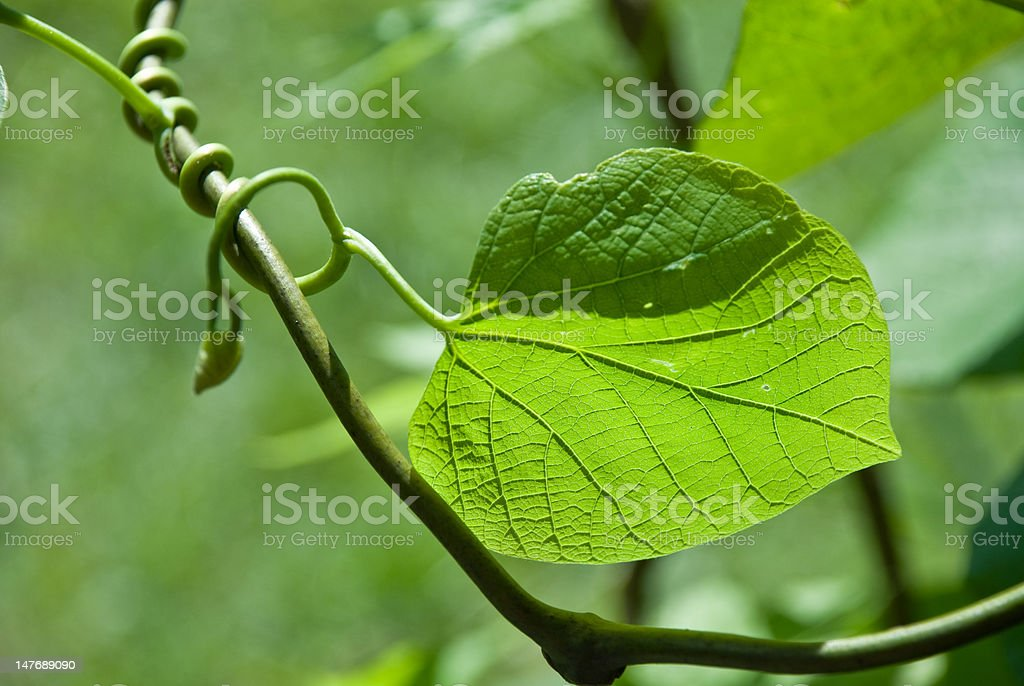green sheet with a tendril royalty-free stock photo