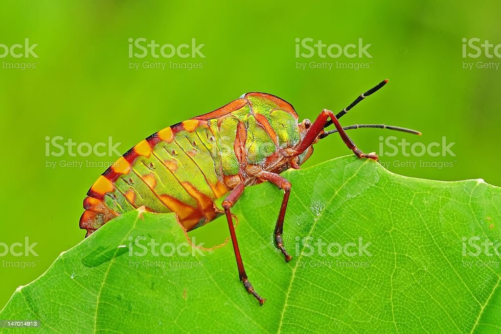 green shield bug and leaf in the parks royalty-free stock photo