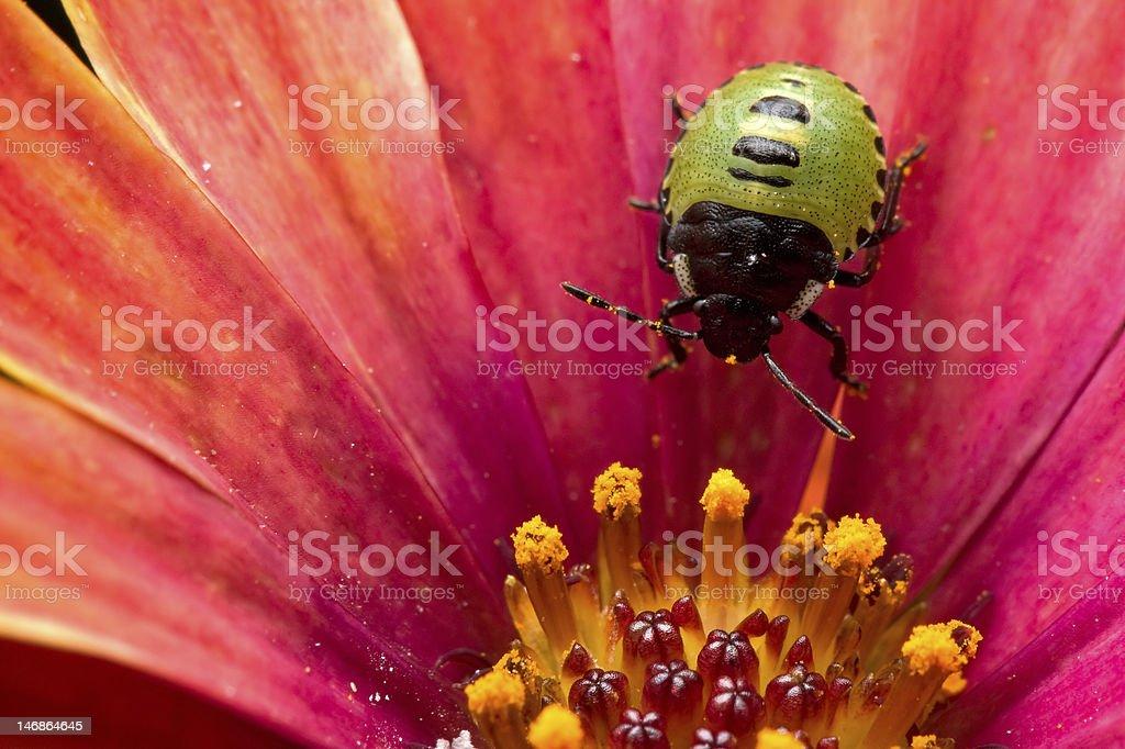 Green shield bug - Palomena prasina stock photo