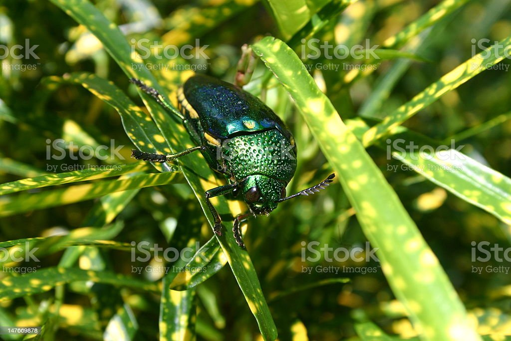 green shiny beetle sitting on a leaf royalty-free stock photo