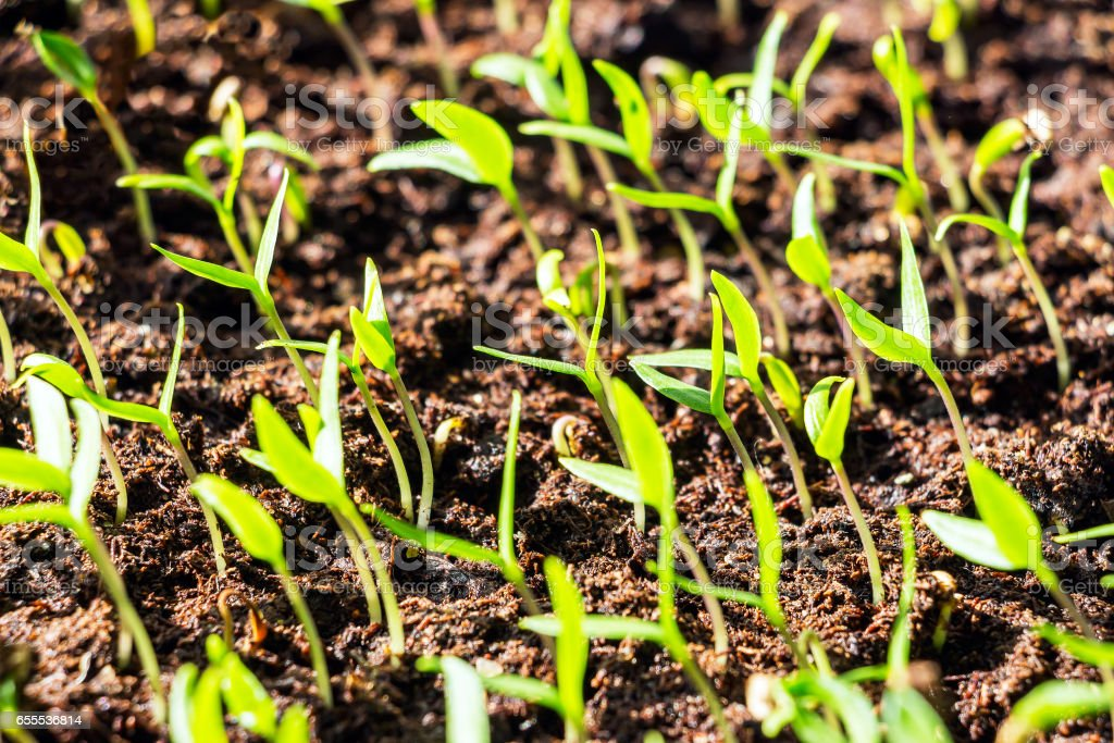 Green shoots of the seedlings stock photo