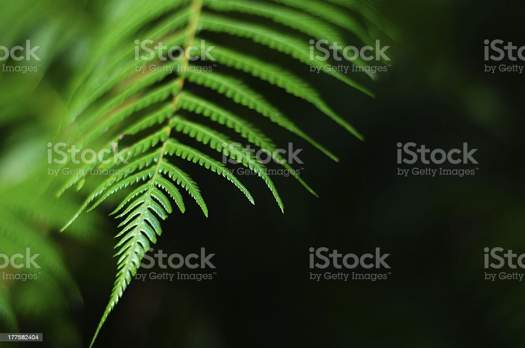 Green Side of the Silver Fern royalty-free stock photo