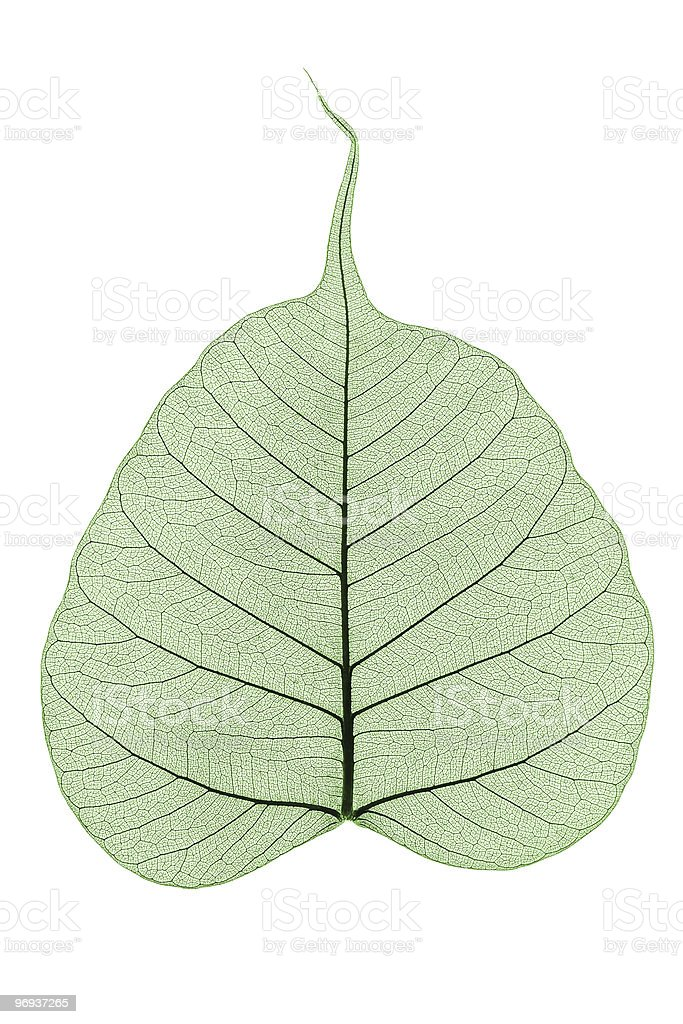green skeleton leaf royalty-free stock photo