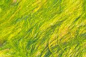 Green slime from algae in lake