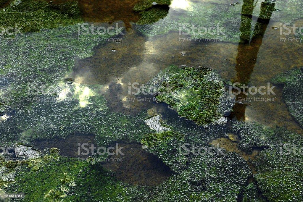 Green slime from algae. stock photo