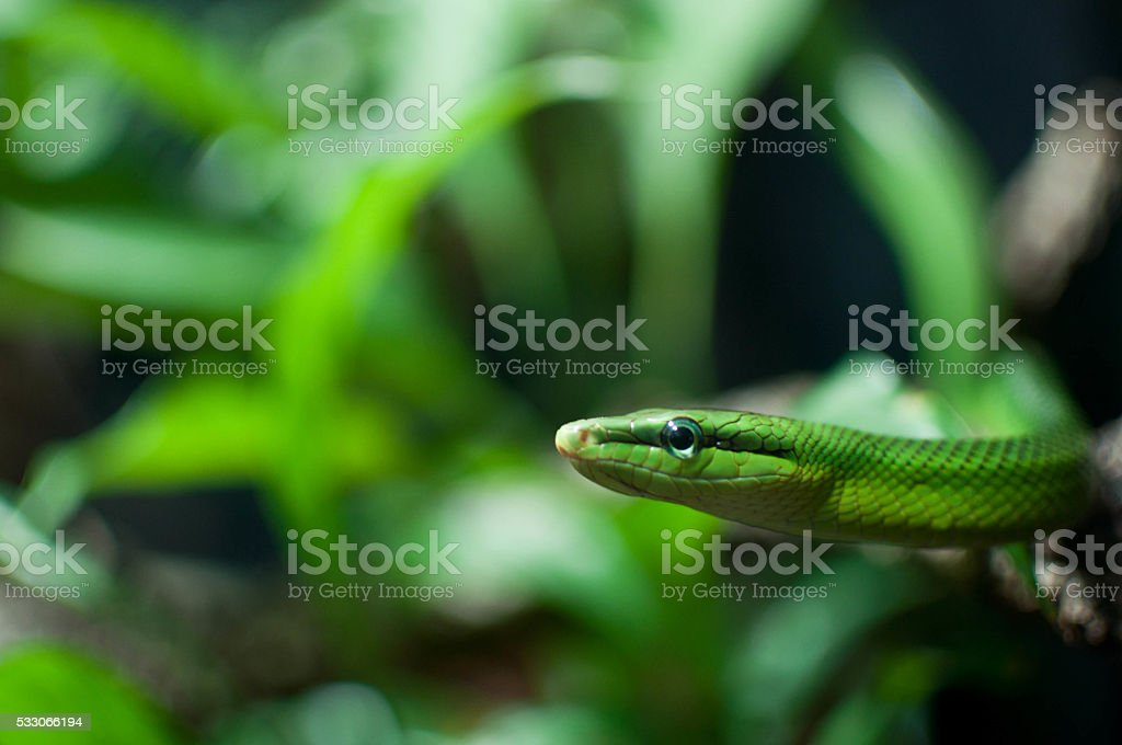 green snake close up in the grass stock photo