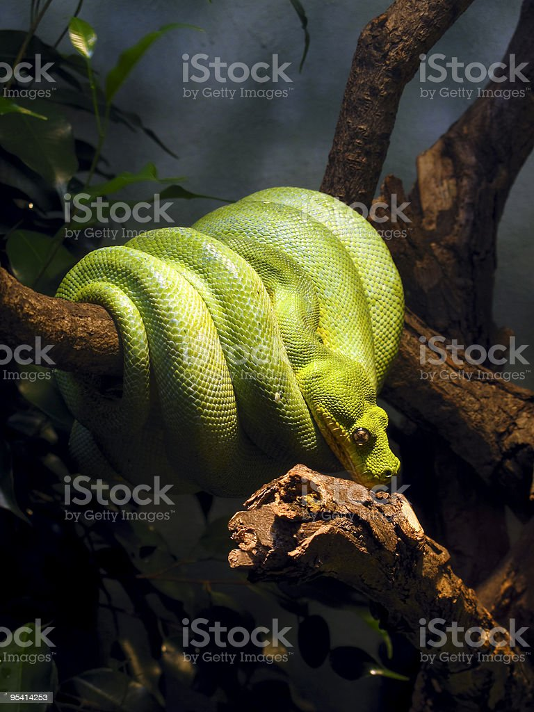 Green snake coiled around a branch stock photo