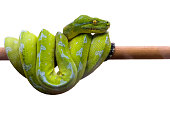 Green snake on a branch.