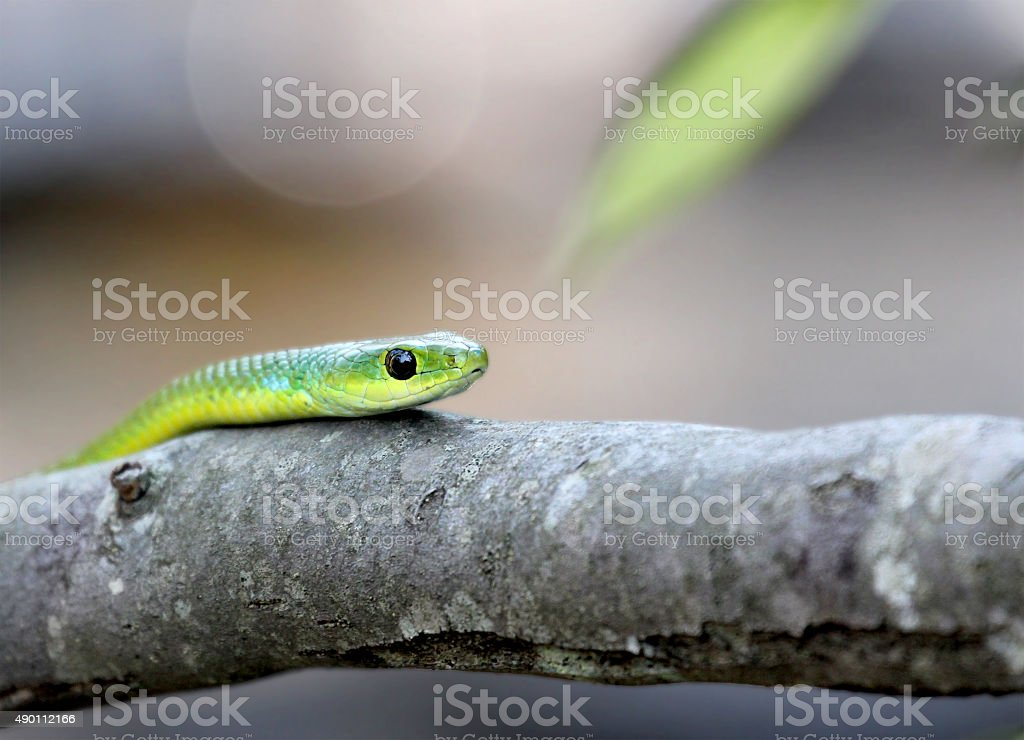 green snake on a tree stock photo
