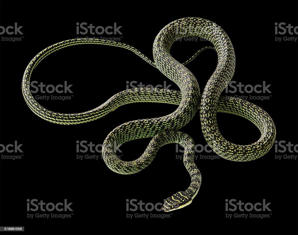 green snake on black background stock photo