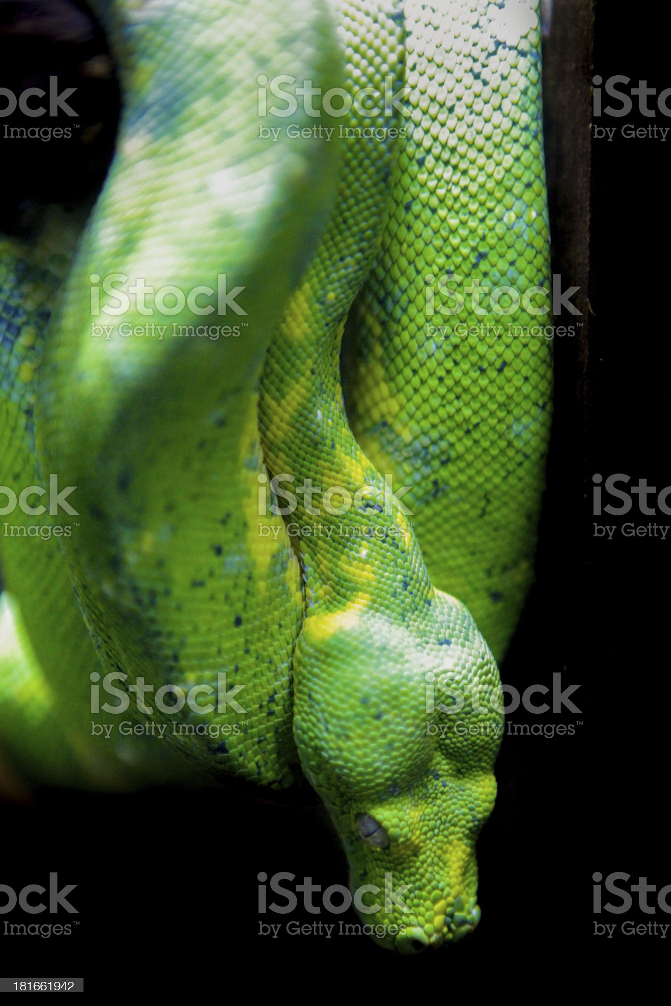 Green snake. royalty-free stock photo
