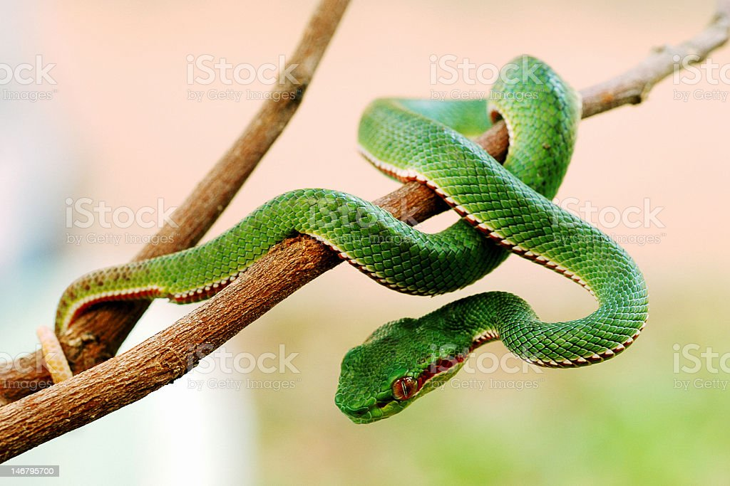 Green snake wrapped around a tree branch stock photo
