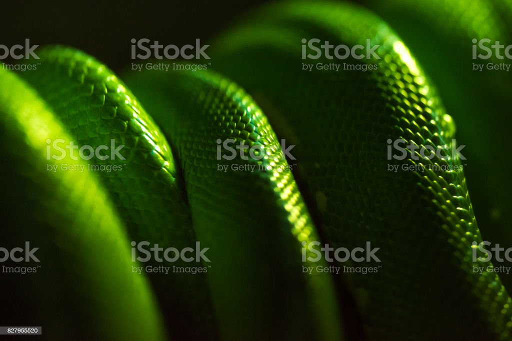 Green snake's body in black background stock photo