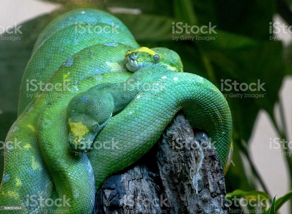 Green Snakes stock photo