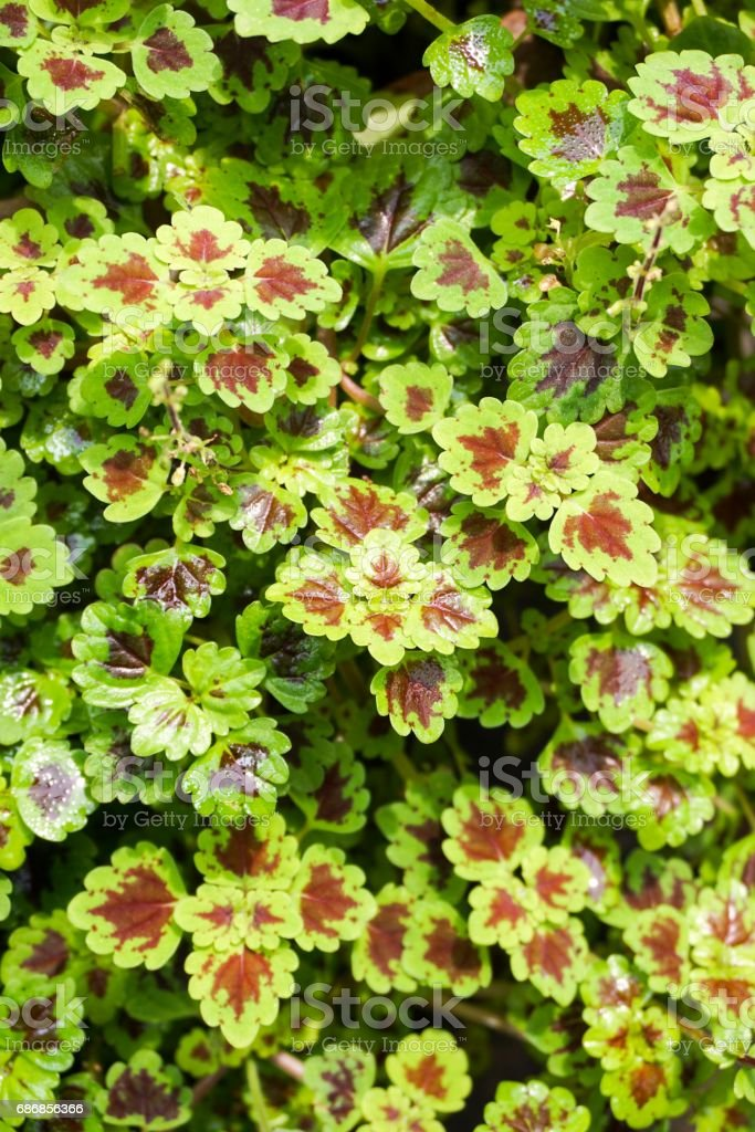 green Solenostemon scutellarioides plant in nature garden stock photo