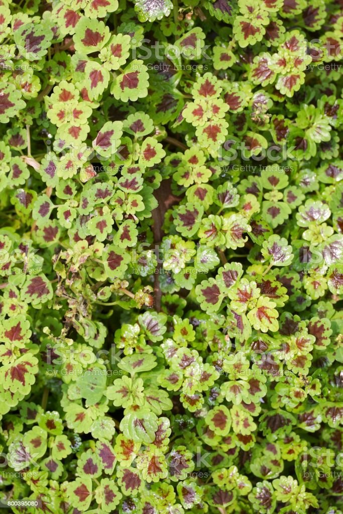 green Solenostemon scutellarioides plant stock photo
