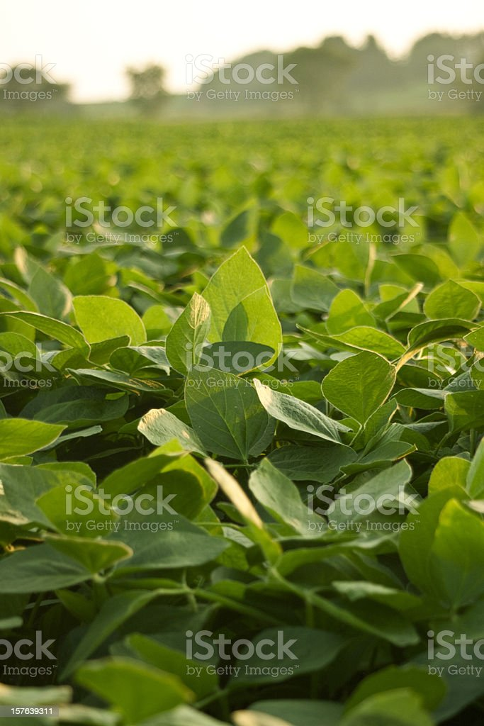 A green soy bean field in the sun stock photo