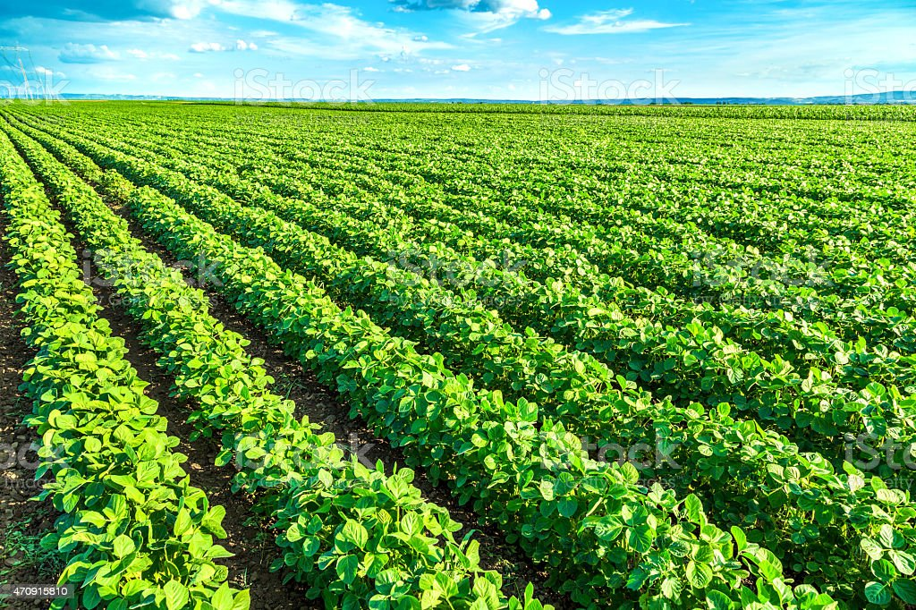 Green soybean plants stock photo