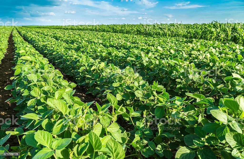 Green soybean plants stock photo