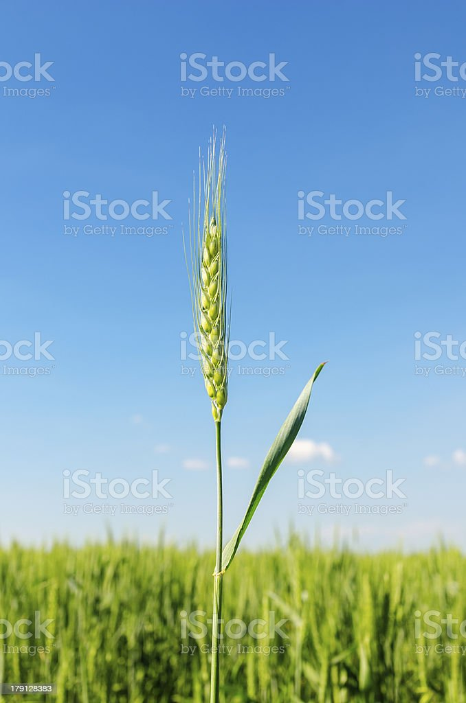 green spica on field royalty-free stock photo