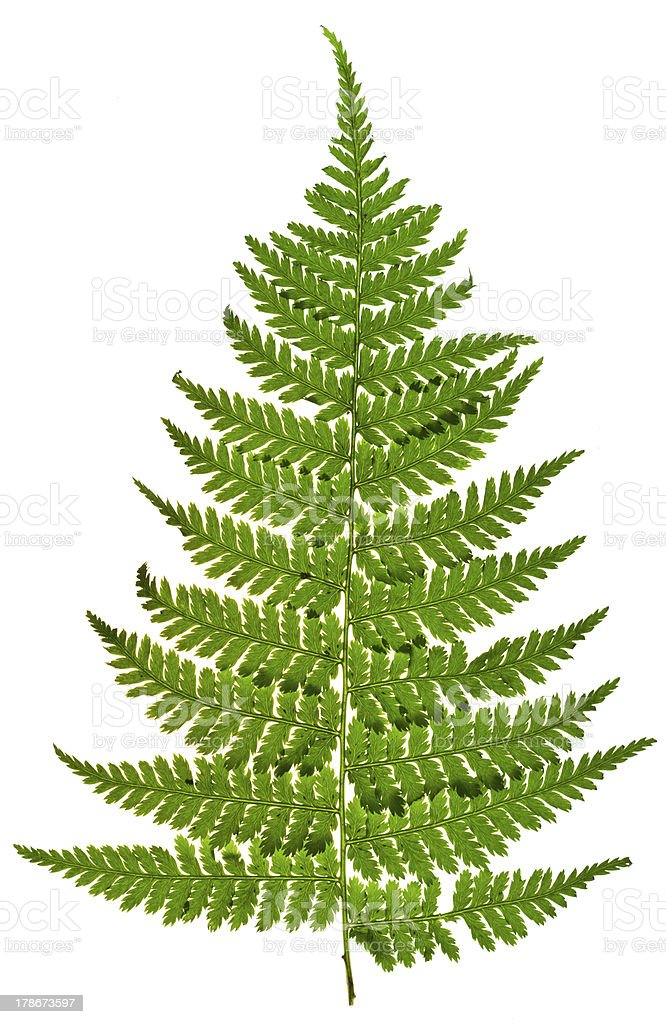 green sprig of fern stock photo