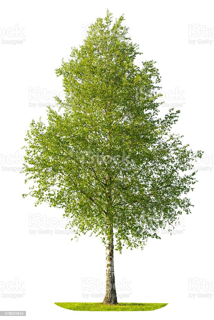 Green spring birch tree isolated on white background stock photo