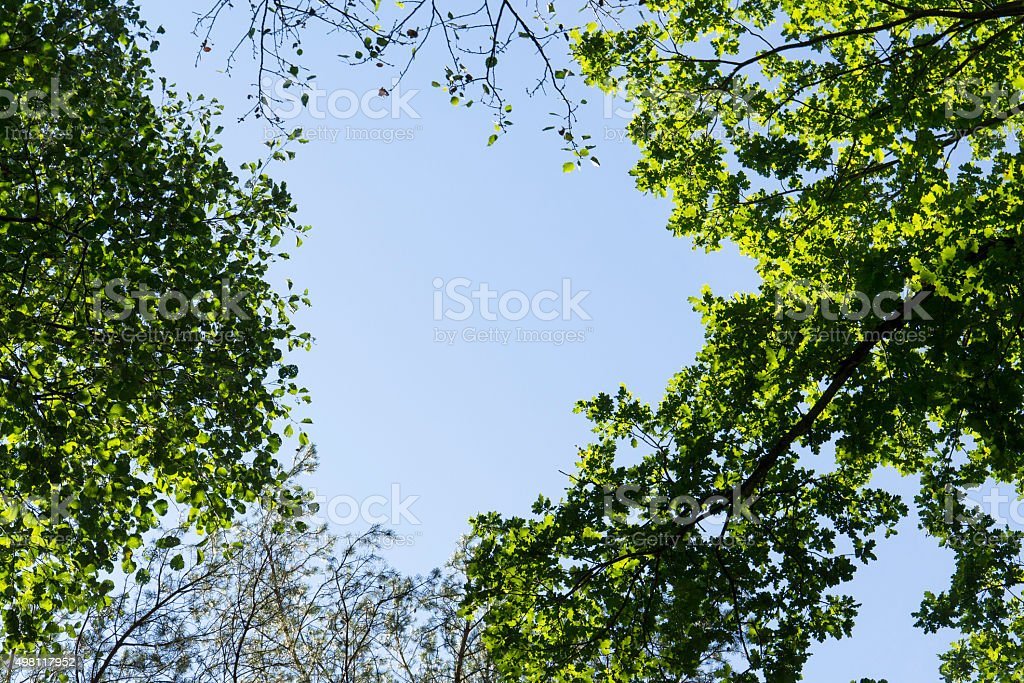 Green spring foliage on treetops in forest clear blue sky stock photo