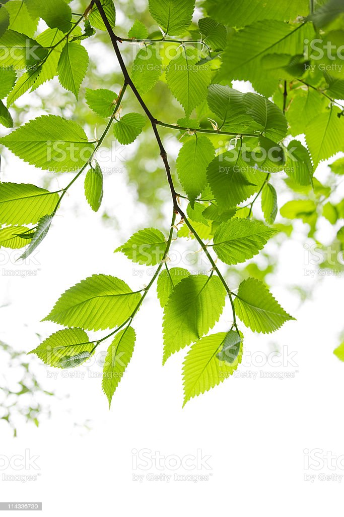 Green spring leaves on white background royalty-free stock photo