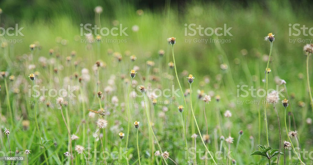 Green spring meadow with tiny daisies royalty-free stock photo