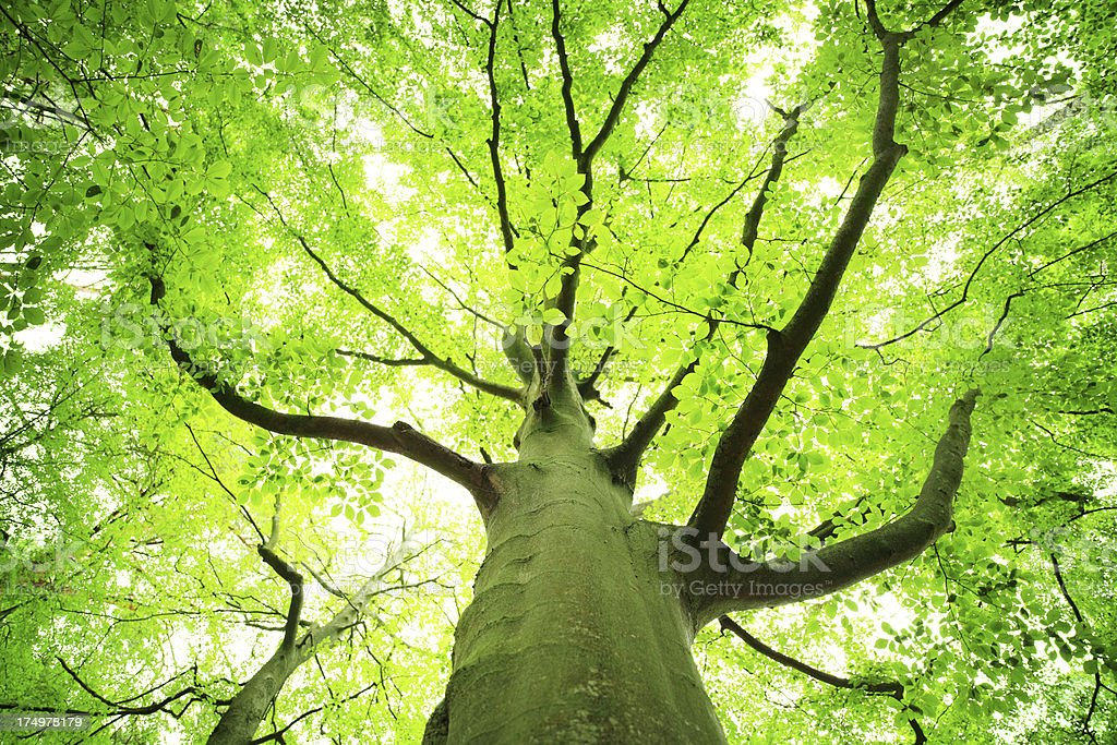 Green, Spring Tree Looking Up - Shallow DOF royalty-free stock photo
