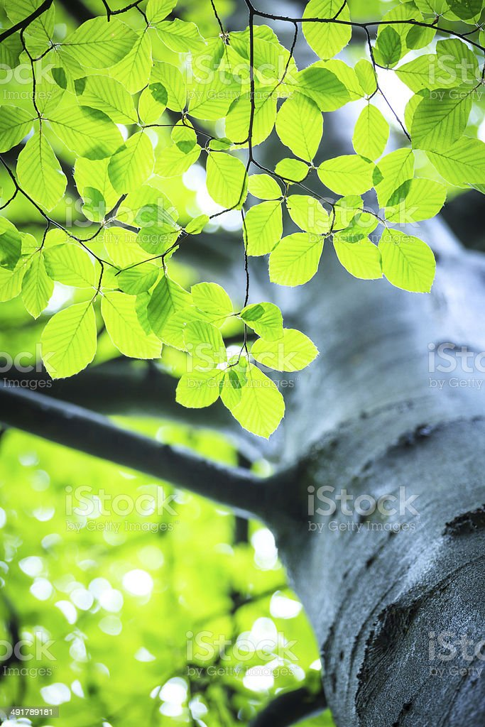 Green, Spring Tree Looking Up - Shallow DOF stock photo