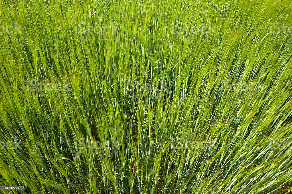 Green Spring Wheat royalty-free stock photo