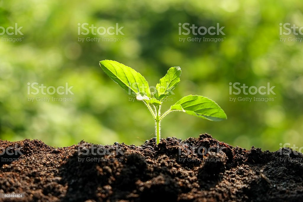 Green sprout growing from seed in organic soil stock photo