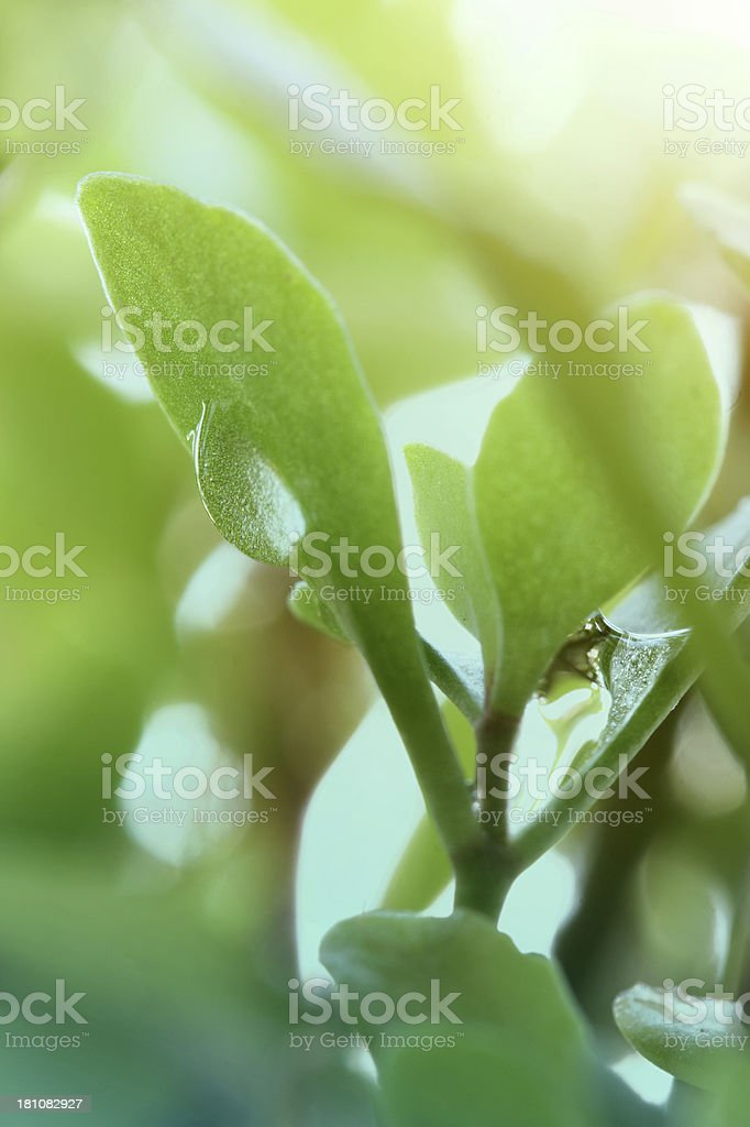 Green sprout with drops royalty-free stock photo