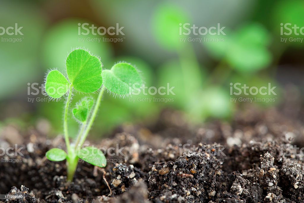 Green sprouts close-up royalty-free stock photo