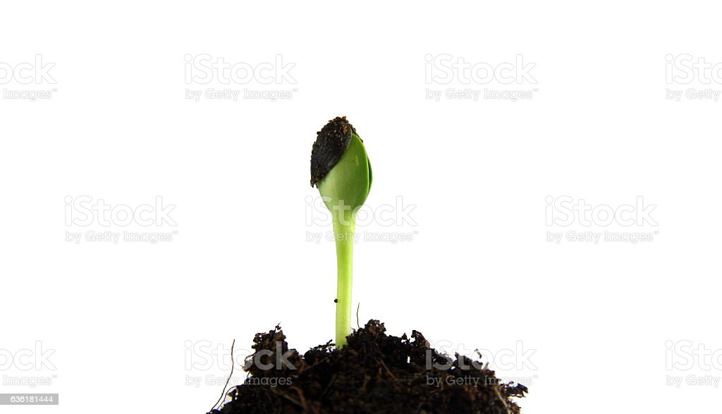 green sprouts growing out from soil stock photo
