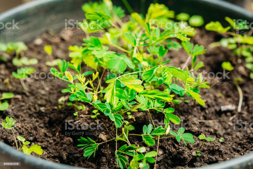 Green Sprouts Of Mimosa Pudica Growing From Soil In Pot In Greenhouse Or Hothouse. Mimosa Pudica Is A Sensitive Plant, Sleepy Plant, Dormilones, Touch-me-not, Or Shy Plant. stock photo