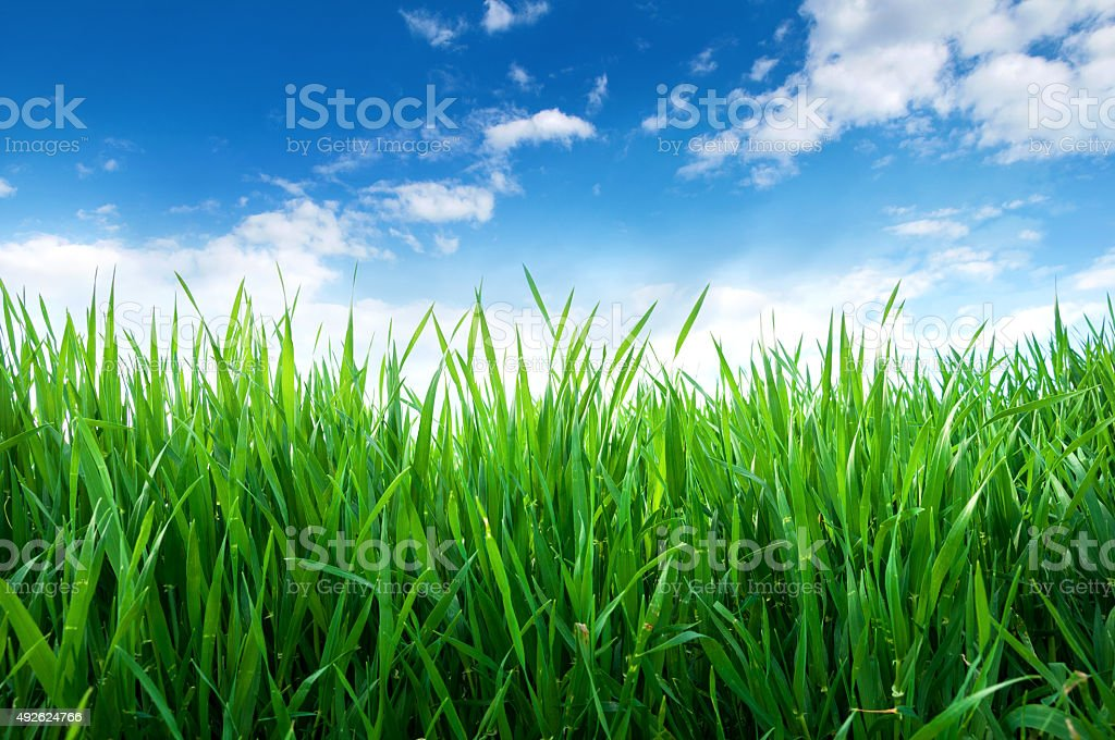 Green sprouts of wheat in the field stock photo