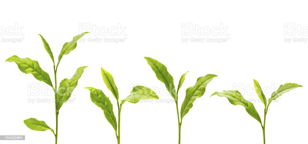 Green sprouts on black line with white background  royalty-free stock photo