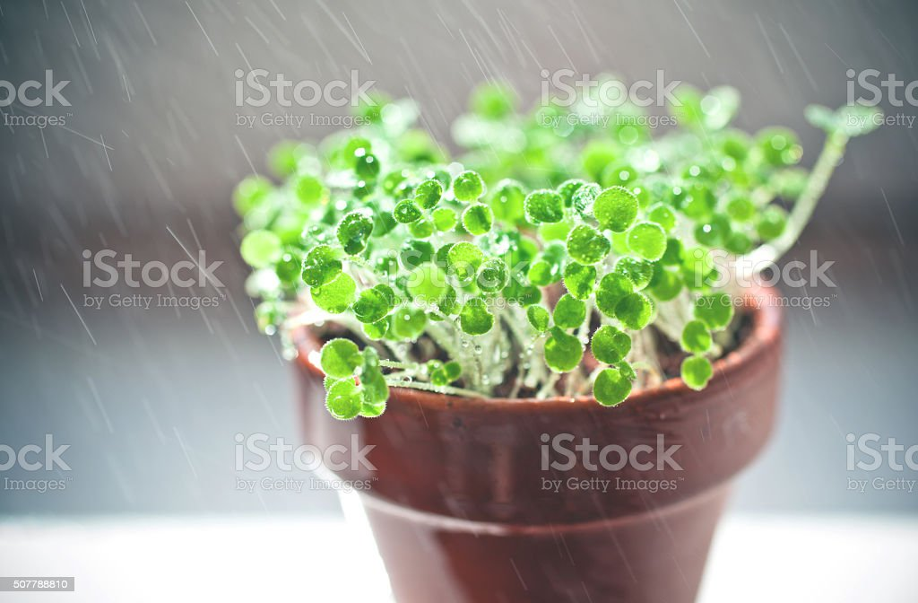 green sprouts. time of watering stock photo
