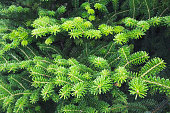 Green spruce branches. Macro photo