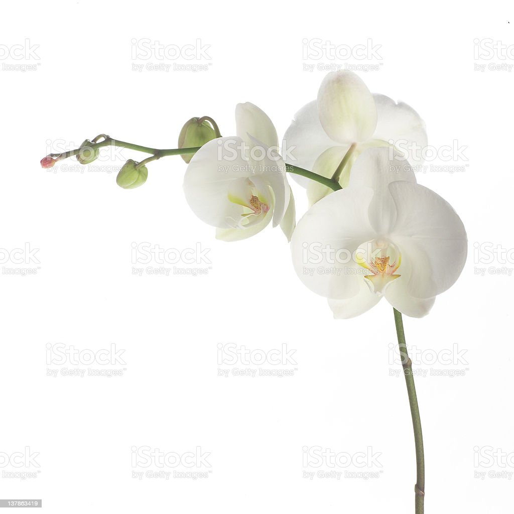 Green stemmed white orchid isolated on white stock photo
