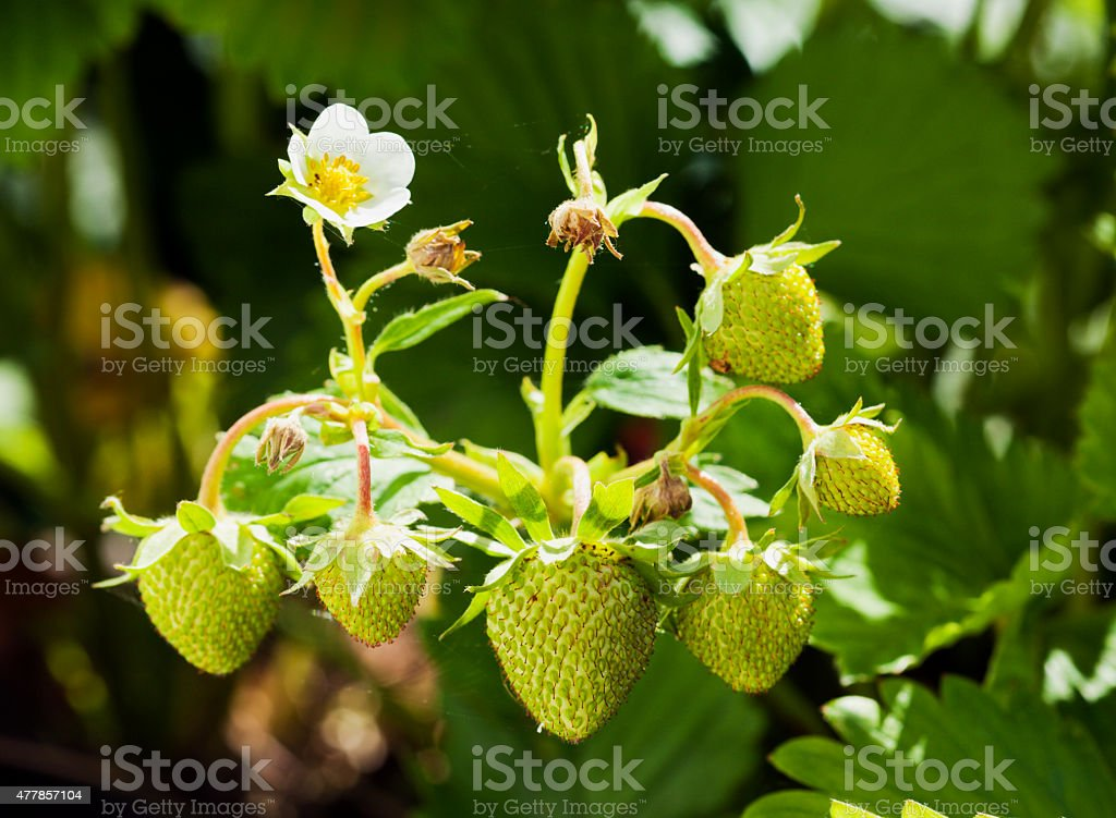 Green strawberries stock photo
