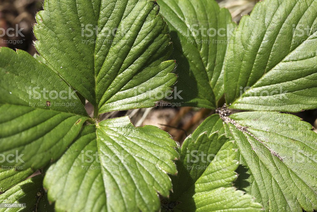 Green strawberry leaves stock photo