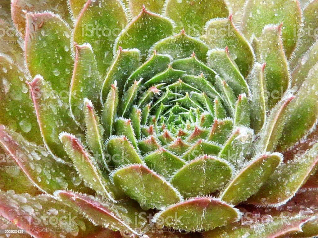 Green Succulent Abstract Nature Pattern Raindrops Background Geometric Symmetry stock photo