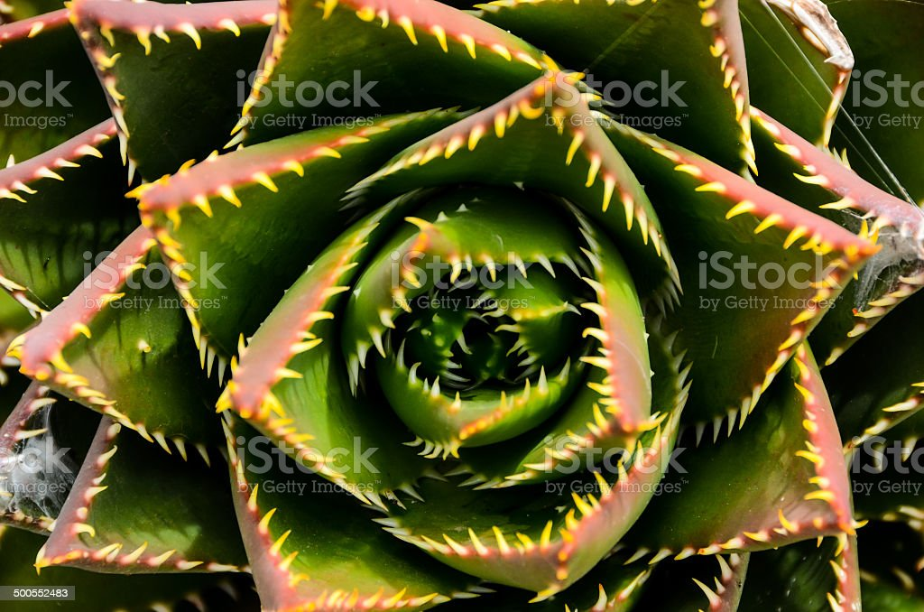 Green Succulent Flower royalty-free stock photo