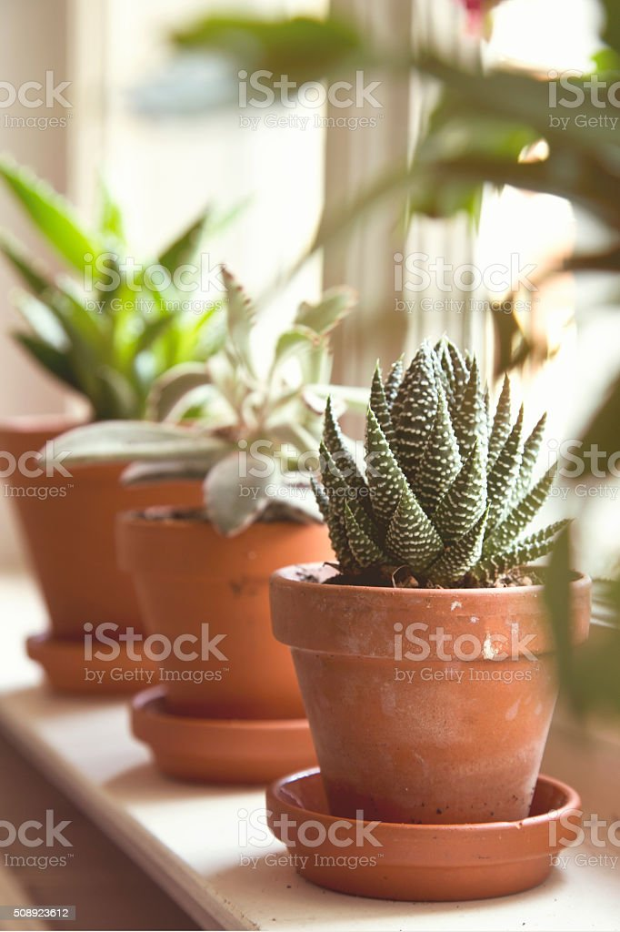 Green succulents on window sill stock photo