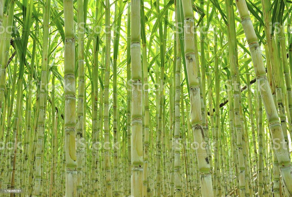 Green sugarcane growing plentifully stock photo