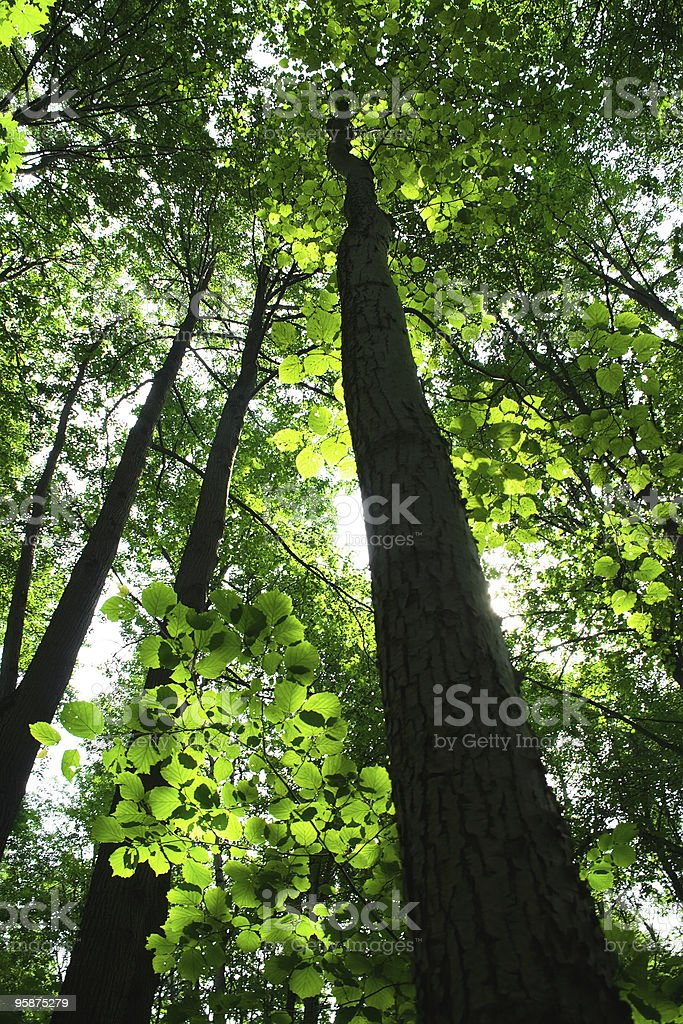 Green summer forest royalty-free stock photo
